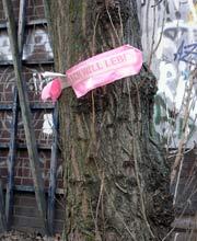 Bedrohte Pappel nahe Waldemarbrücke