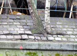 Aus dem Pflaster wachsen Birken