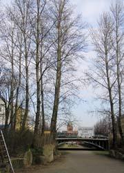 Walde-Pappeln im Winter