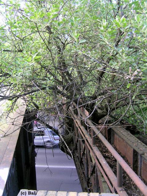 Brücken-Baum