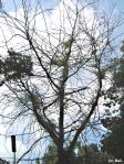 Lederhülsenbaum 325