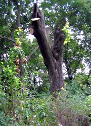 Robinienstubben als Biotopholz