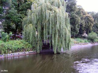 Uferweide