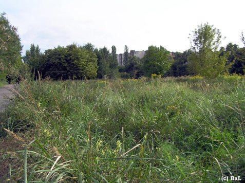 Leinkraut am Radweg