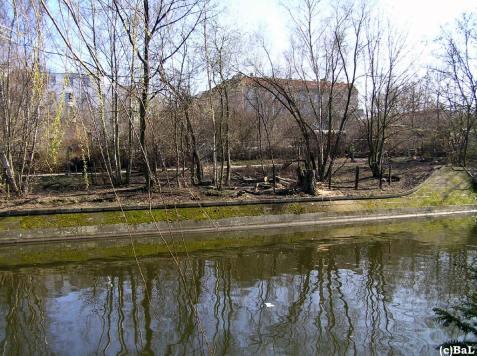 Am 22.3. gefällte Pappel am Lohmühlenufer, Landwehrkanal