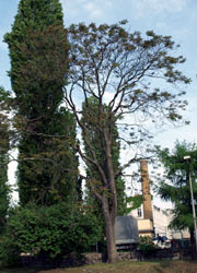 Kranker Götterbaum