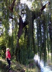 Hebel-Weide