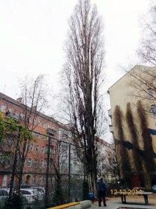 Säulenpappel Schreinerstraße 46