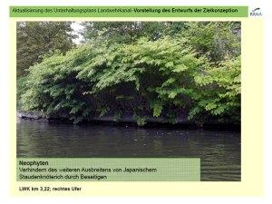 Japanischer Staudenknoeterich